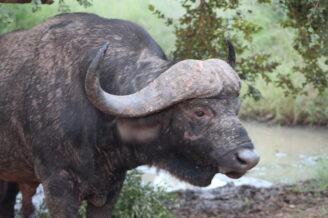 buffalo holds a grudge