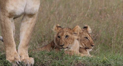 Learn about Lion Totem: Christel Nani Kenya Safari June 17th-24