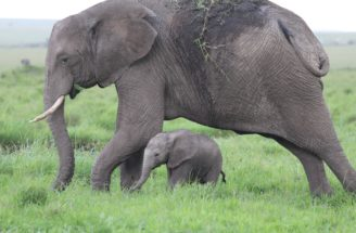 The Sheldrake Center takes care of orphaned elephants. Thank you.