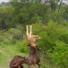 christel nani safari june 17-24. energy of cape buffalo